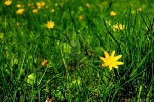 8669120-c-de-petites-fleurs-en-herbe-verte-au-printemps1-300x199